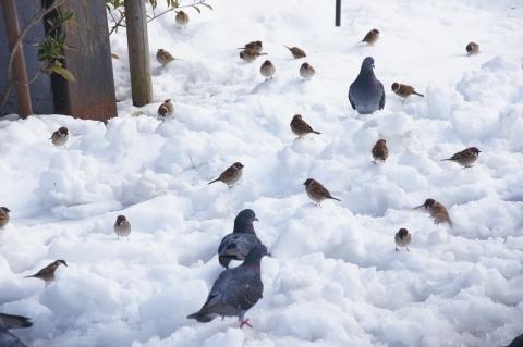 雪の上のハトとスズメ