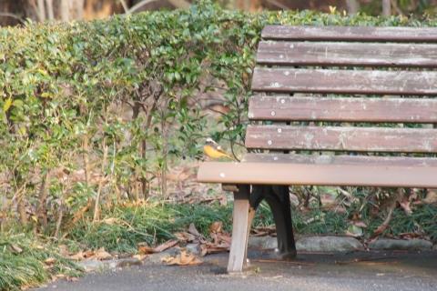 ベンチに座ったジョウビタキ