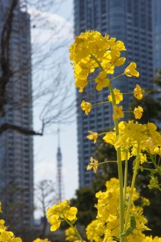 菜の花と東京タワー1