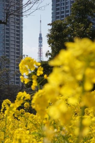 菜の花と東京タワー3
