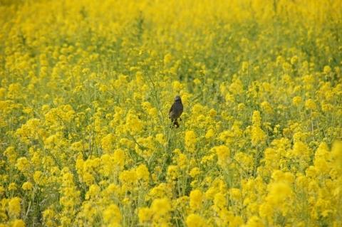菜の花の中のヒヨドリ