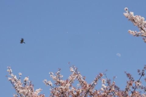 風に舞う桜と十日月、そしてヒヨドリ