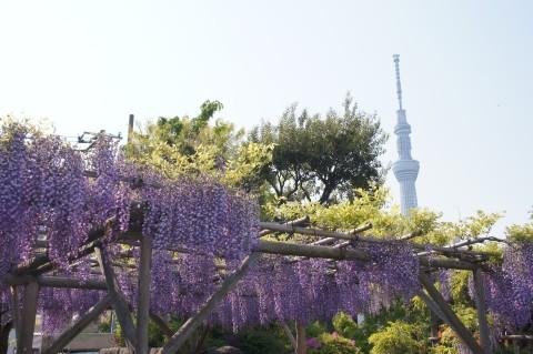 藤棚と東京スカイツリー