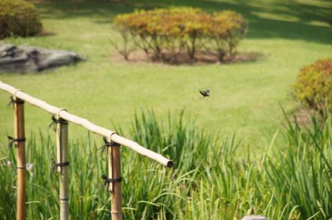 ひらひら飛ぶチョウトンボ