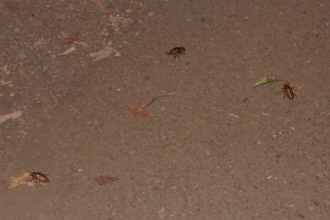 木に向かうセミの幼虫