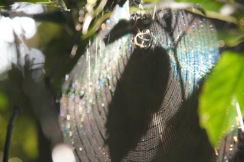 葉の影が落ちた虹色クモの巣