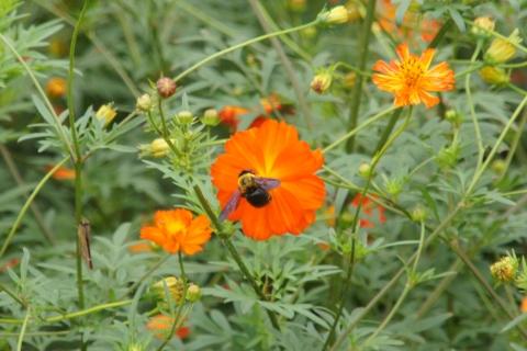 キバナコスモスに集うクマバチ