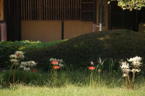 諏訪の茶屋のヒガンバナ