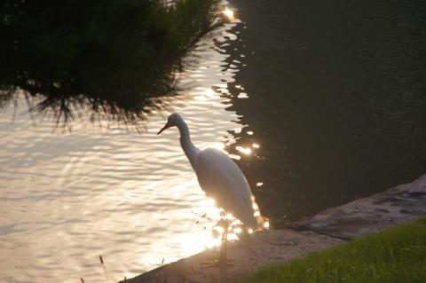 夕陽に佇むコサギ