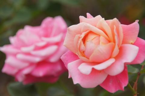 バラ プリンセスチチブ