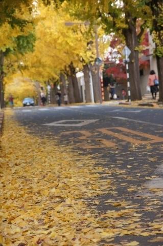 銀杏並木と落ち葉2