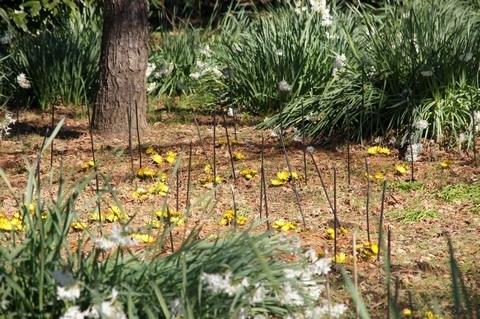 イギリス庭園のフクジュソウ