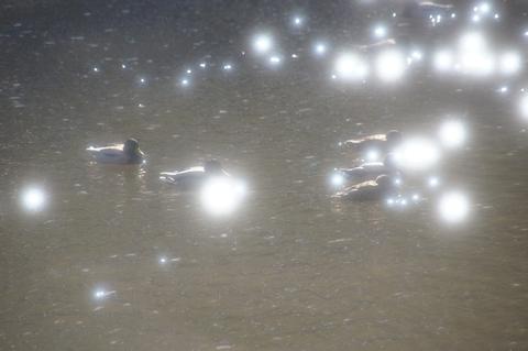 輝く水面とマガモ3