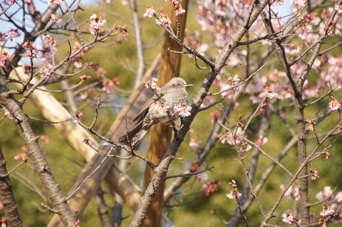 桜を選ぶヒヨドリ