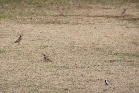 3羽のツグミ