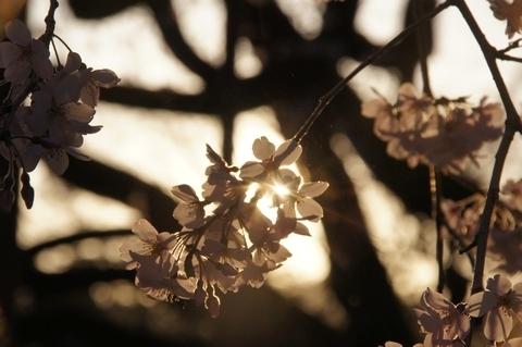 スポットライトを浴びるシダレザクラの花