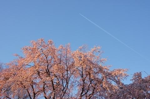 シダレザクラと飛行機雲