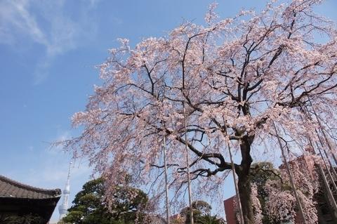 書院と枝垂桜と東京スカイツリー2