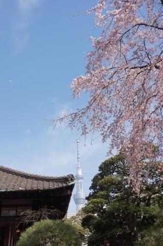 書院と枝垂桜と東京スカイツリー
