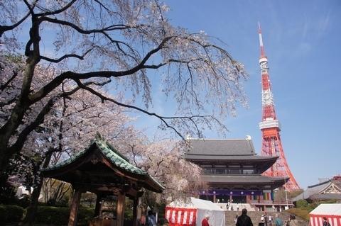 朝の増上寺・東京タワー・枝垂桜.JPG