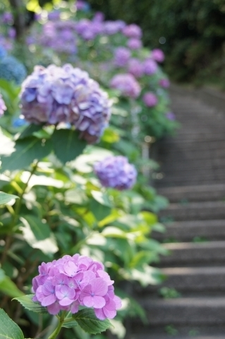 階段脇の紫陽花