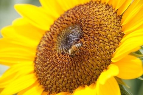 ミツバチとヒマワリ