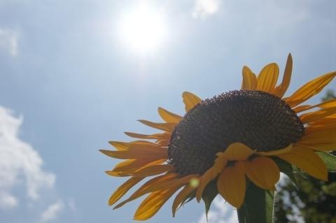 太陽と向日葵2