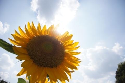 太陽と向日葵1