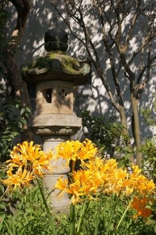 石灯籠とショウキズイセン