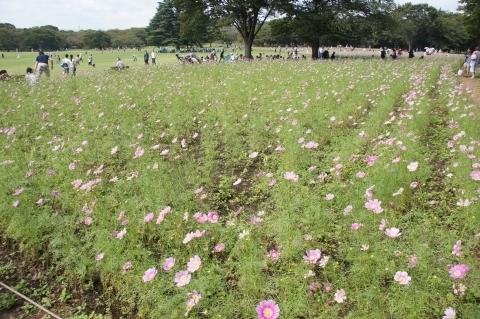 原っぱ東花畑のコスモス畑1
