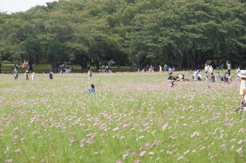 原っぱ東花畑のコスモス畑3
