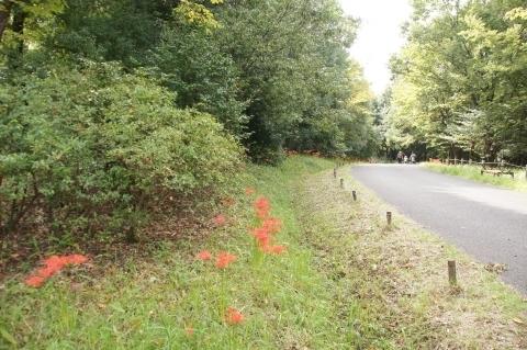 こもれびの丘の道端の彼岸花
