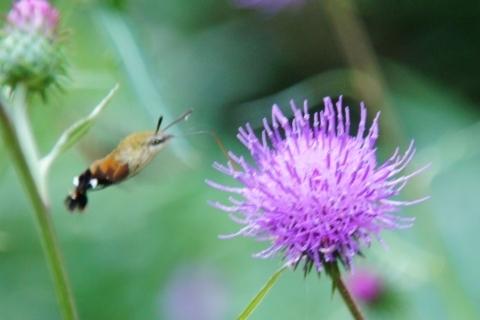 アザミの花の蜜を吸うホシホウジャク