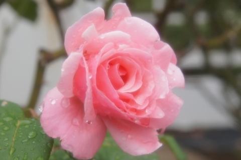 雨に濡れたバラ クイーン・エリザベス