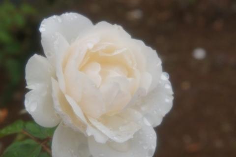 雨に濡れたバラ プリンセス・オブ・ウェールズ