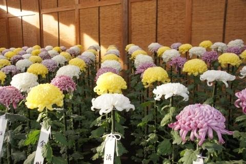 大菊の手綱植え