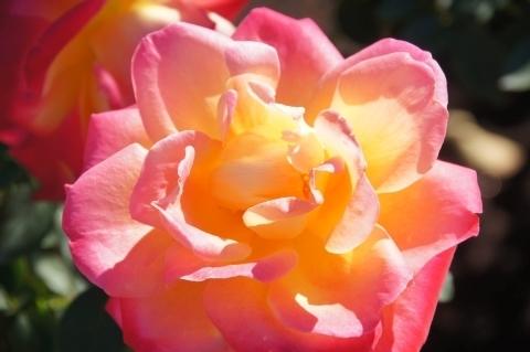 薔薇・栄光