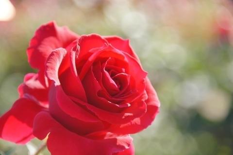 薔薇・乾杯