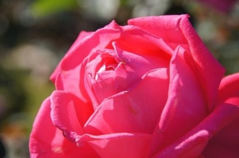 薔薇・薪能