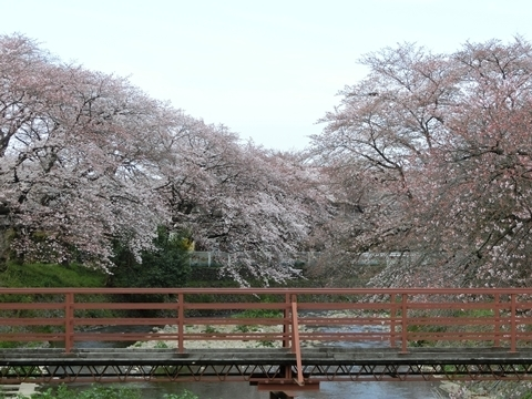 霞川の桜2