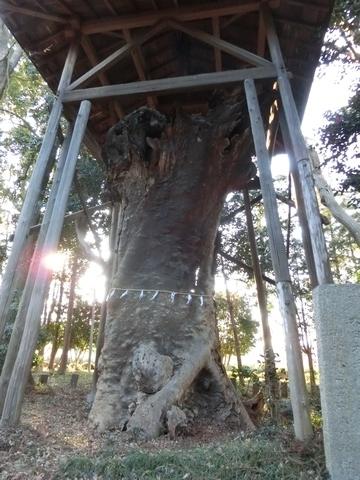 中氷川神社の御神木の欅