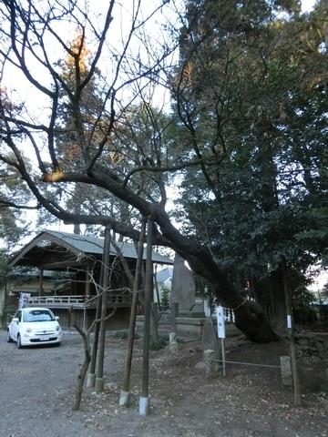 北野天神社 尊桜