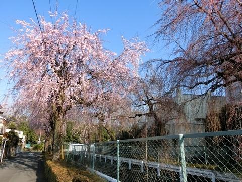 満開に近い砂川堀しだれ桜