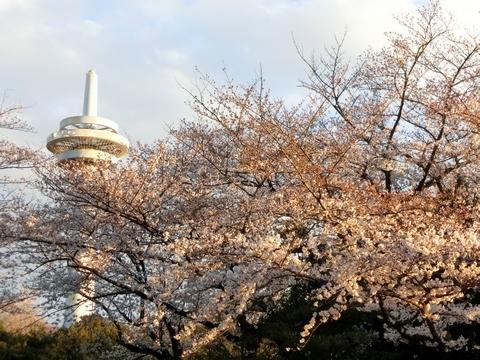 放送塔と桜