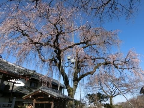 金仙寺の枝垂桜