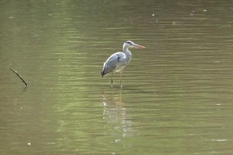 池の中に立つアオザギ