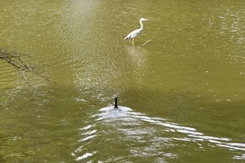 アオサギに向かって泳ぐカワウ