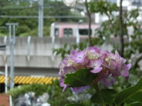 東急線とアジサイ