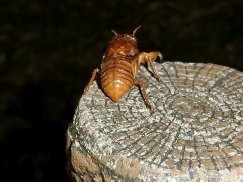 ミンミンゼミの幼虫
