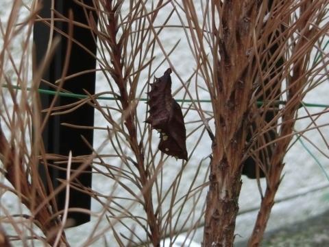 ツマグロヒョウモンのサナギC